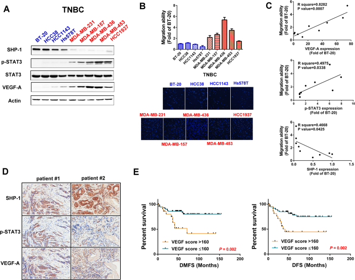 SHP-1 is negatively associated with p-STAT3/VEGF-A signaling and metastasis in TNBC cells and clinical samples. ( A ) Protein expression pattern of SHP-1, p-STAT3, and VEGF-A in nine TNBC cell lines were analyzed by western blot. ( B ) The migration abilities of nine TNBC cell lines were analyzed by Transwell assay. DAPI stains the nuclei. BT-20 cells were used as a normalization control. ( C ) The correlation (linear regression model) of VEGF-A ( top ), p-STAT3 ( middle ), and SHP-1 ( bottom ) and migration ability in nine TNBC cell lines. ( D ) TNBC cells from representative two patients with SHP-1, p-STAT3, and VEGF-A staining. (200×) ( E ) Kaplan-Meier graph was prepared to compare DMFS ( left ) and DFS ( right ) in patients with high VEGF-A (H score > 160) or low VEGF-A (H score
