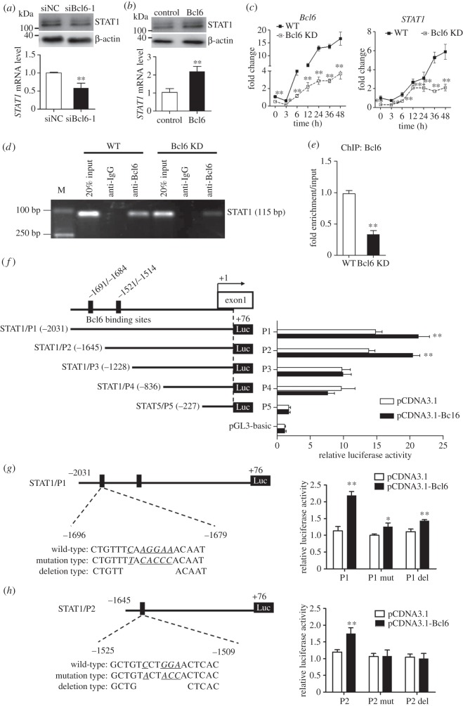 STAT1 is a direct target of Bcl6 in C3H10T1/2 cells. ( a , b ) Knockdown of Bcl6 in C3H10T1/2 cells represses STAT1 expression, and overexpression of Bcl6 enhances STAT1 expression by qPCR and western blot, respectively. Values are mean ± s.d. ( n = 3). ** p
