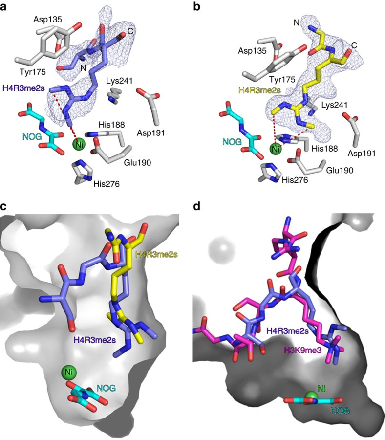 JmjC KDMs bind methylated arginine peptides in a catalytically-productive binding mode. ( a and b ) Views from an X-ray crystal structure of KDM4A in complex with nickel, NOG (a 2OG mimetic) and an H4R3me2s peptide (residues 1–15). Two orientations of peptide binding were refined; one orientation ( a ) positions a methyl group of symmetric dimethylarginine residue sufficiently close to the metal centre to allow catalysis (within 4.5 Å, for crystallographic reasons, nickel was substituted for iron). The other orientation ( b ) is likely not catalytically productive. Fo-Fc OMIT maps contoured to 3σ around the H4R3me2s residues are shown. ( c ) Overlay of the two binding orientations observed for the H4R3me2s peptide in the KDM4A active site. Only one orientation (blue) positions a methyl group close to the catalytic metal centre. ( d ) Overlay of the H4R3me2s peptide (catalytically-productive orientation only) and an H3K9me3 peptide (residues 7–14) bound in the KDM4A active site. The methylated arginine and lysine residues show similar binding modes.