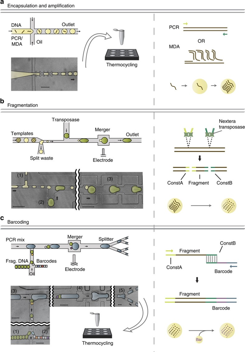 Microfluidic workflow for generating barcoded DNA fragments. Left: schematics and false-colored microscope images of microfluidic devices. Right: schematic of molecular biology reactions occurring inside droplets. ( a ) A flow focus drop maker is used to encapsulate single templates into droplets. Inside droplets, PCR or MDA is used to clonally amplify the single template. ( b ) The splitmerger device is used to add transposases into template drops while achieving a 10 × dilution of the templates. The template droplets are injected on the left side, split at junction (1) so that 1/10th of the droplet continues on to pair with a reagent droplet generated on chip at (2) and the pair merges at the channel widening (3). The transposase reaction inside droplets fragments templates while adding adaptors to each fragment. ( c ) The microfluidic device used for attaching barcodes to DNA fragments. Templates droplets (1) and barcode droplets (2) are injected into the device where they pair with each other and a large PCR reagent droplet generated on chip (3). The three droplets merge at the electrode (4) and are split into smaller droplets for thermal cycling (5). Barcodes are spliced onto fragments by overlap-extension PCR. Scale bars, 100 μm.