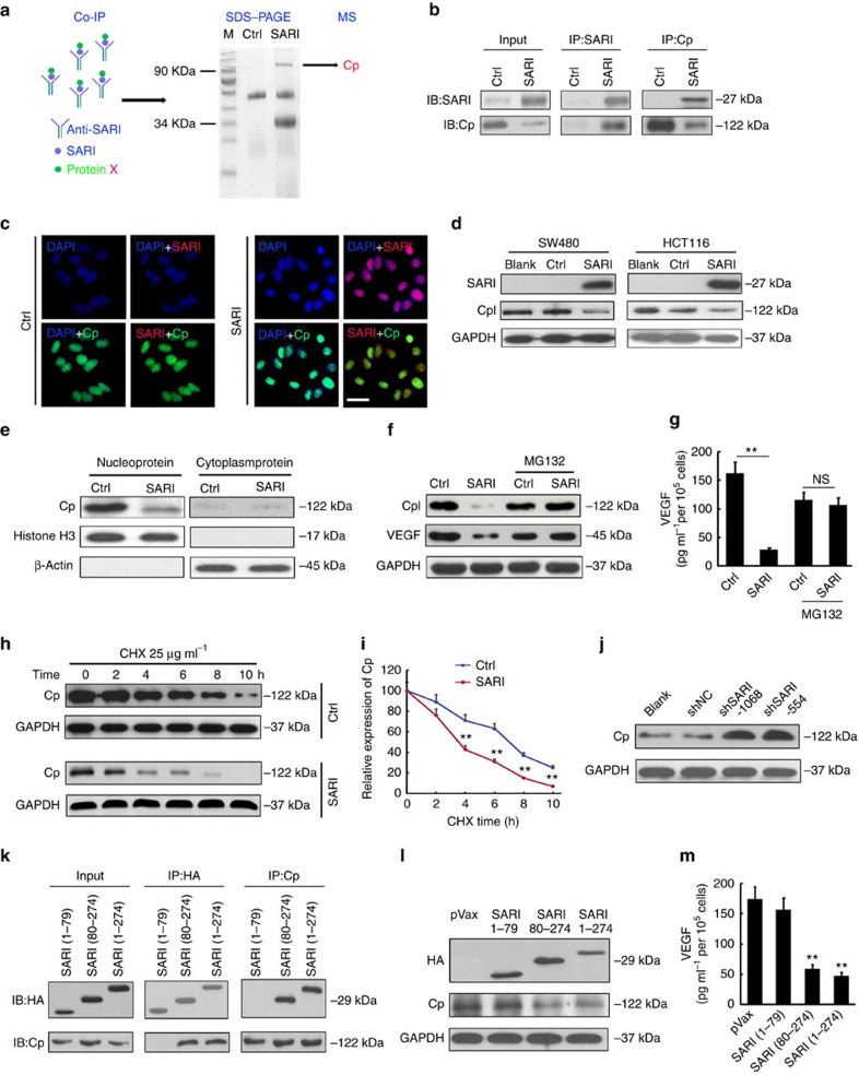 SARI inhibits VEGF expression by directly binding to Cp. ( a ) Co-immunoprecipitation products after adding anti-SARI antibody were separated by SDS–PAGE, and the differential band was analysed by MS. ( b ) Co-immunoprecipitation analysis of SW480-control and SW480-SARI cell lysates using anti-SARI and anti-Cp antibody. ( c ) Staining for Cp (green) and SARI (red) in SW480-control and SW480-SARI cells; DAPI staining for the nucleus. Scale bar, 50 μm. ( d ) Immunoblots of SARI and Cp expression in SW480 and HCT116-blank, control and SARI cells. GAPDH was used as a loading control. ( e ) Western blotting detection of Cp expression of collected nuclear and cytoplasmic proteins. Histone H3 was used as the nucleus loading control and β-actin as the cytoplasm loading control. ( f ) Immunoblots of Cp and VEGF expression in SW480-control and SW480-SARI cells with or without MG132 treatment. GAPDH was used as the loading control. ( g ) ELISA detection of VEGF expression in SW480-control and SW480-SARI cells with or without MG132 treatment. ( n =4; ** P