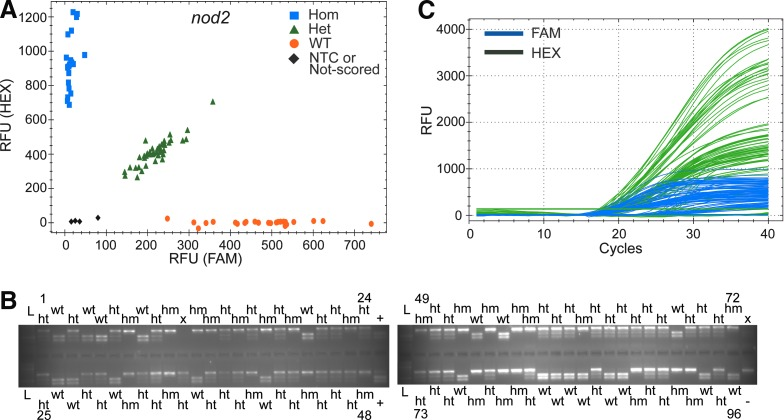 Validation of ASQ genotyping of the nod2 locus with RFLP. (A) nod2 allele discrimination plot was generated by CFX Manager software. A total of 88 samples were used for this validation. Samples 9–16 were omitted to make a row of space for the standards and NTCs in a 96-well PCR plate. Clustering of alleles visually assists allele scoring. Three NTCs were used that clustered near the origin of the graph. Five samples of a serial dilution of WT genomic DNA were used for quality control (3×; 1-, 3-, 9-, 27-, and 81-fold dilution). The samples with the lowest concentration (81-fold) did not produce a valid signal, resulting in another unscored data point (black diamond) on the graph. The original allele calls and standard curve are available in Supplementary Fig. S5 . (B) nod2 allele scoring with RFLP. The total amplicon is 545 bp with one restriction site for the restriction endonuclease Xba I. A homozygous allele gives a 545 bp band, a heterozygous allele 545, 326, and 219 bp, and a WT allele 326 and 219 bp. L, molecular ladder; +, positive digestion control with endonuclease ( Xba I); −, negative digestion control without endonuclease; x, empty well. (C) qPCR amplification plot. FAM plot (blue) shows amplifications of a WT allele, whereas HEX plot (dark green) shows amplifications of a mutant allele.