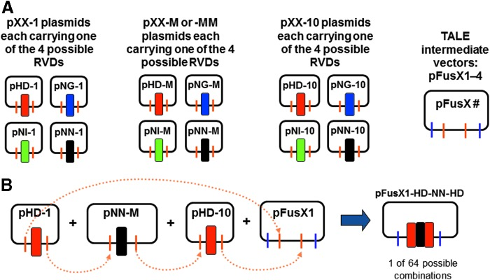 """Construction of the FusX1–4 libraries. (A) Component plasmids used to construct the pFusX1–4 libraries. pXX-1 and pXX-10 are single-RVD (repeat-variable diresidue) encoding plasmids from the original Golden Gate system (2.0) 16 ; pXX-M and -MM are new, single RVD modules with designated sequence and Bsa I overhangs for ligation in between pXX-1 and pXX-10 to form 3-mer intermediates in pFusX1–4 libraries. pXX-MM includes extra silent mutations and is used only to construct the pFusX3 library, providing a specific primer-binding site for sequencing of long TALE (transcription activator-like effector) domain. """"XX"""" represents any of the four RVD modules: HD, NG, NI, NN. (B) Schematic diagram showing sequential ligation of single RVD component plasmids into the four intermediate vectors: pFusX1, pFusX2, pFusX3, pFusX4. Dotted arrows indicate ligation at compatible overhangs generated by Bsa I."""
