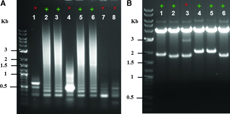 Quality control of TALEN assembly, using colony PCR and restriction enzyme digestion. (A) Representative colony PCR using primers TAL_F1/TAL_R2. Correct colonies (+) result in characteristic laddering due to the repetitive nature of the incorporated RVDs. (B) Representative restriction enzyme digestion analyses with <t>Aat</t> II/ <t>Stu</t> I are shown [these clones differ from those shown in (A) ]. The size of the lower band is dependent on the number of TALE repeats within the TALEN, which can aid in determining correct clones. +, correct TALEN clones; *, incorrect TALEN clones.