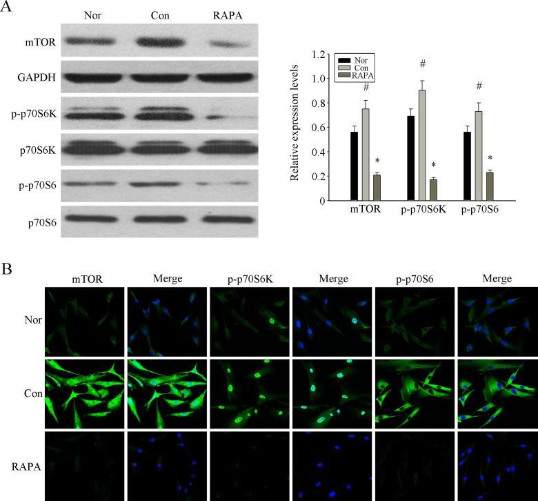 RAPA inhibited the over-activation mTOR pathway to revers the senescence of MSCs from MRL/lpr mice ( A ) The over-expression of p-mTOR, p-S6K and <t>p-S6</t> in p4 MSCs from MRL/lpr mice compared with normal group were determined by western blot analysis. The treatment of RAPA could obviously inhibit the expression of those proteins. GAPDH was used as the internal control. ( B ) P4 MSCs cultured into 24-well plates. The expression of p-mTOR, p-S6K and p-S6 analyzed by immunofluorescence staining showed that their over-activation in MSCs from MRL/lpr mice could be inhibited by RAPA treatment. Counterstaining with DAPI displays the localization of the nucleus (Scale bar = 50 μm). All data were expressed as the mean±SEM (n = 3,*P