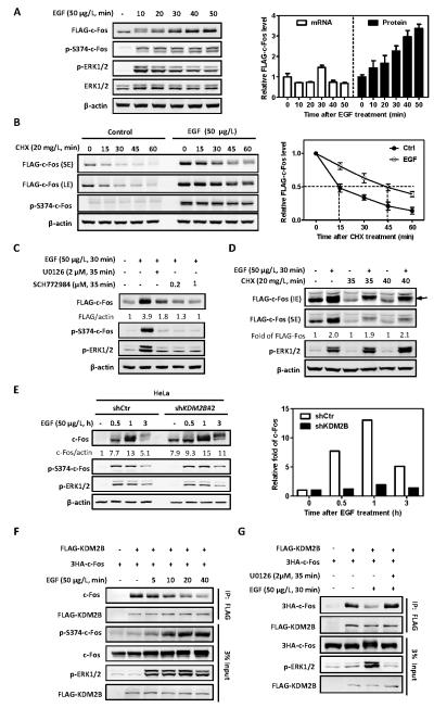 <t>EGF</t> stabilizes c-Fos by dissociating c-Fos from KDM2B/FBXL10 (A) EGF induces c-Fos protein accumulation in a time-dependent manner. HEK293 cells stably expressing FLAG-tagged c-Fos were deprived of serum for 8 h, and then treated with 50 μg/L EGF for the indicated length of time. The protein and mRNA levels of FLAG-c-Fos were determined by western blot and qRT-PCR, respectively, and normalized against β-actin. Error bars represent ±SD for triplicate experiments. (B) EGF stabilizes c-Fos. HEK293 cells stably expressing FLAG-tagged c-Fos were pretreated with or without EGF (50 μg/L) for 30 min, followed by <t>CHX</t> treatment (20 mg/L) for the indicated time. The protein levels of c-Fos were determined by western blot and normalized against β-actin. Error bars represent ±SD for triplicate experiments. (C) EGF-induced c-Fos accumulation is blocked by MEK1/2 inhibitor U0126 and an ERK1/2 inhibitor (SCH772984). HEK293 cells stably expressing FLAG-c-Fos were deprived of serum for 8 h, followed by treatment with U0126 (2 μM) or SCH772984 (0.2 or 1 μM) for 5 min. EGF (50 μg/L) was then added for additional 30 min. The protein levels of c-Fos were determined by western blot and normalized against β-actin. (D) EGF-induced c-Fos accumulation is not affected by inhibition of protein synthesis. HEK293 cells stably expressing FLAG-tagged c-Fos were treated with CHX (20 mg/L) for 5 min or 10 min. Solvent or EGF (50 μg/L) was then added for further treatment for 30 min. The protein levels of FLAG-c-Fos were determined by western blot and normalized against β-actin. Data are shown as relative fold change over protein levels in cells without EGF treatment. The arrow represents highly phosphorylated c-Fos (E) Knock down of KDM2B prolongs the high level of c-Fos protein following EGF stimulation. HeLa cells with stable knock down of KDM2B were deprived of serum for 8 h, followed by treatment with EGF (50 μg/L) for the indicated length of time. The protein levels of c-Fos were determined by western blot and normalized against β-actin. Data are shown as relative fold change over cells without EGF treatment (right panel). (F) EGF treatment induces c-Fos S374 phosphorylation and concomitantly reduces the interaction between c-Fos and KDM2B. HEK293 cells were transfected with plasmids expressing indicated proteins and then treated with EGF (50 μg/L) for the indicated length of time. The interactions between c-Fos and KDM2B were determined by Co-IP. (G) The reduction of c-Fos and KDM2B interaction by EGF is blocked by U0126. FLAG-KDM2B and 3HA-c-Fos were co-transfected into HEK293 cells. Cells were pretreated with U0126 (2 μM) for 5 min and then treated with EGF (50 μg/L) for another 30 min. The interactions between c-Fos and KDM2B were determined by Co-IP.