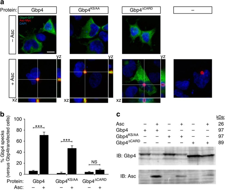 Gbp4 and Gbp4 KS/AA localize to the speck in the presence of Asc. HEK293T cells were transfected with zebrafish Gbp4-GFP, Gbp4 KS/AA -GFP or Gbp4 ▵CARD -GFP in the presence or absence of zebrafish Asc-Myc, fixed at 48 h <t>post-transfection</t> and labelled in red with specific antibodies to the Myc epitope. ( a ) Representative frontal (xy) and lateral (xz and yz) views of maximum-intensity projection images of HEK293T cells stained with anti-Myc antibodies (Asc, Red). Gbp4, Gbp4 KS/AA and Gbp4 ▵CARD are visualized in green thanks to GFP, while nuclei are labelled with DAPI (blue). ( b ) Quantitation of the percentage of Gbp4 specks in relation to the total number of Gbp4 transfected cells. ( c ) Cells were lysed and anti-GFP and anti-c-Myc antibodies were used to validate the transfection assays by detecting Gbp4 and Asc, respectively, by western blot. The mass weights for all the proteins are indicated. Scale bars, 10 μm. The sample size for each treatment is Gbp4: 1300 cells; Gbp4+Asc: 1270 cells; Gbp4 KS/AA : 369 cells; Gbp4 KS/AA +Asc: 768 cells; Gbp4 ▵CARD : 773 cells; Gbp4 ▵CARD +Asc: 961cells. NS, not significant; *** P