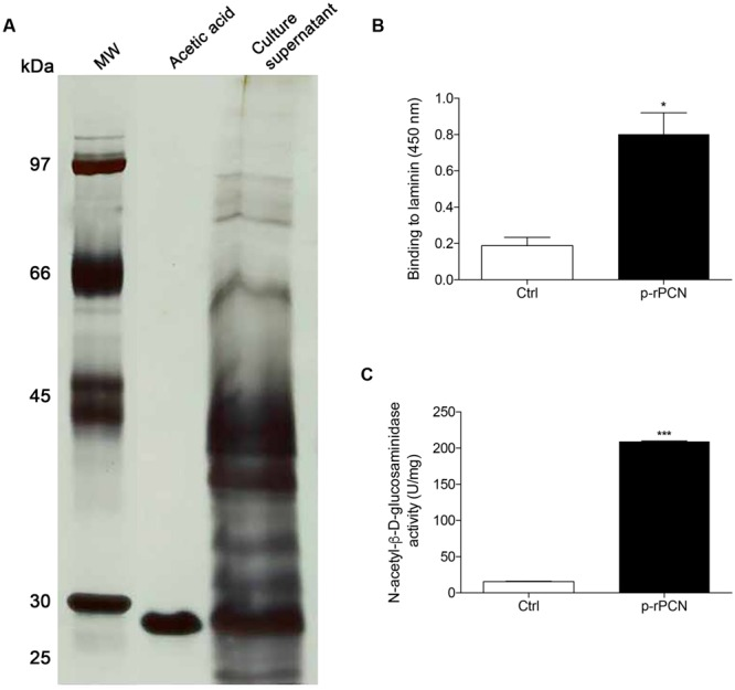 Purification and biological activities of a recombinant form of paracoccin produced using the Pichia pastoris expression system. (A) SDS-PAGE of the fraction of the culture supernatant that was adsorbed to chitin and eluted in acidic buffer; shows a 27 kDa silver stained band, as determined on the basis of the migration index of MM markers (lane MW). (B) Binding of the purified recombinant paracoccin (named p-rPCN, 200 ng) to the laminin coated wells (250 ng) of a <t>microplate.</t> The binding was revealed by reaction with anti-paracoccin IgY. (C) N -acetyl-glucosaminidase activity exerted by the p-rPCN as revealed using the substrate ρ-nitrophenyl- N -acetyl-β- D -glucosaminide (100 μL 5 mM ρ-NPGlcNAc). The results are expressed as mean ± SEM and were compared to the medium through one-way analysis of variance, followed by Bonferroni's test. ∗∗∗ p