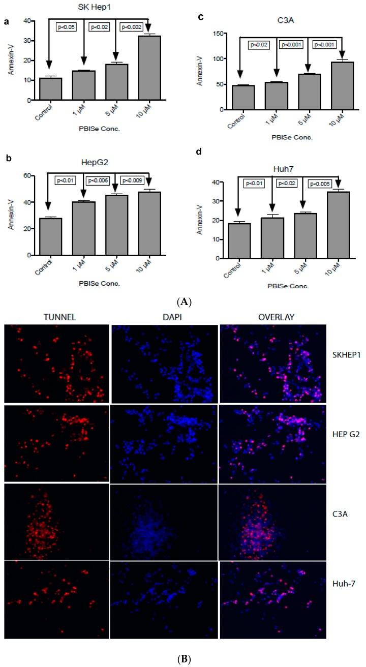 PBISe induces late stage apoptosis resulting in DNA fragmentation. Four different cell lines were used to demonstrate the late apoptotic process. ( a ) Skhep1; ( b ) HepG2; ( c ) C3A; ( d ) Huh-7. The cells were grown in 100 mm petridishes in 10% MEM, and then treated with different concentration of the drug for 48 h. Approximately 1 × 10 6 treated cells were suspended in 1X binding buffer. One-hundred microliters of suspended cells containing 1 × 10 5 cells were stained with 5 μL of FITC labeled annexin-V and 5 μL of Propidium iodide (PI) for 15 min at RT in dark. Apoptosis is measured by flow cytometry within one hour of staining. Graph showing the total apoptotic cell death from three quadrants representing the PI stained cells (early apoptotic), annexin-V staining (Late apoptotic) and double positive (early and late apoptotic). The p values are determined for all the indicated concentrations compared to control ( A ). As an indication of late stage apoptosis, PBISe induced DNA fragmentation of Skhep1, HepG2, C3A and Huh7 cell lines was performed by Tunnel assay. The cells are grown on the coverslip in a 6 well plate, treated with 10 μM conc. of PBISe for 48 h. The treated coverslips were fixed with paraformaldehyde followed by precooled ethanol and acetic acid. The coverslips were labeled with Apo tag red for Tunnel (red) and counterstained with DAPI nuclear stain (blue). The pictures were taken with Leica confocal microscopy ( B ).