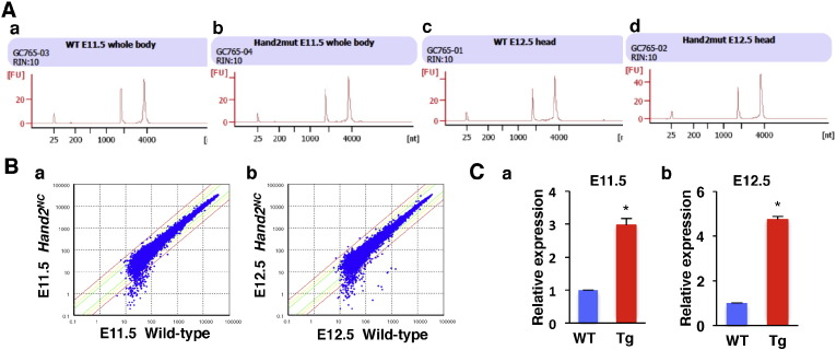 RNA quality control. A. RNA quality was measured using the Agilent 2100 Bioanalyzer for wild-type (a, c) and Hand2 NC mutant (b, d) samples at E11.5 (a, b) and E12.5 (c, d). The RNA Integrity Number (RIN; value assigned from 0 to 10) and histograms are shown. B. Scatter plots showing the correlation of signal values between two samples from E11.5 (a) and E12.5 (b) embryos. Data assigned to absent calls were omitted. C. qPCR analysis of the Hand2 transcript levels from wild-type (WT) and Hand2 NC (Tg) embryos at E11.5 (a) and E12.5 (b). Hand2 expression was upregulated in the Hand2 NC embryos. The experimental data were analyzed using two-tailed Student's t -tests and were expressed as the mean ± standard error of the mean (SEM). P -values less than 0.05 were considered as significant.