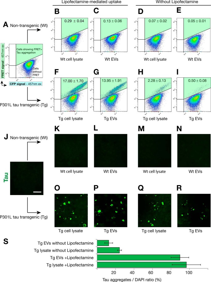 Effect of an extended culture on the generation of the FRET signal and tau aggregation. FRET tau biosensor cells were treated in the presence ( B , C , F , and G ) or absence ( D , E , H , and I ) of Lipofectamine and analyzed by FRET flow cytometry after a 72-h treatment ( n = 3, average ± S.D.. 40,000 cells/experiment were analyzed). A , FRET tau biosensor cells treated only with Lipofectamine do not induce FRET (upper right gate Q2, shaded green ). ex , excitation. B–E , none of the treatments with WT exosome-like EVs or cell lysates triggers FRET. F and G , a strong FRET signal is detected with Tg cell lysates ( F ) and Tg exosome-like EVs ( G ) in the presence of Lipofectamine. H and I , when Lipofectamine is omitted, a weak signal is detected for Tg lysates ( H ) and also for Tg EVs ( I). J–R , parallel experiment using the same conditions was performed with cells grown on coverslips to then be analyzed by confocal microscopy. Scale bar = 50 μm. O–R , induced tau aggregates were visualized only with Tg samples. S , quantification of the ratio of the area occupied by tau inclusions normalized by the area occupied by nuclei 72-h after treatment (tau aggregates/DAPI in percent, n = 4).