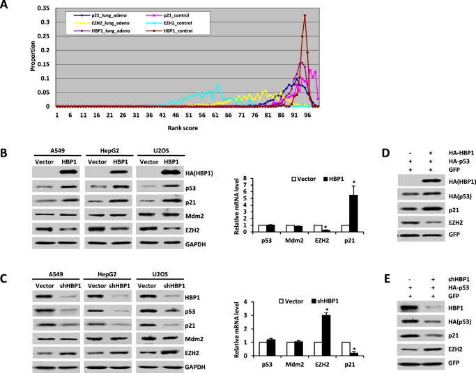 Transcription factor HBP1 promotes p21 transcription, probably by regulating the expression of p53 and EZH2. A , HBP1 and p21 are down-regulated at the mRNA level in lung adenocarcinoma according to bioinformatics analysis. In the rank-based gene expression curves, the x axis represents expressional intensity reflected by rank scores, whereas the y axis indicates sample percentiles at each rank score. B , HBP1 overexpression increases p53 and p21 expression and decreases EZH2 expression. The protein levels of HBP1, p53, p21, Mdm2, and EZH2 were measured by Western blotting in A549, HepG2, or U2OS cells stably transfected with PITA or PITA-HA-HBP1 through lentiviral infection. GAPDH was used as a loading control ( left panel ). The mRNA levels of p53, p21, Mdm2, and EZH2 were measured by real-time PCR in A549 cells stably transfected with PITA or PITA-HA-HBP1 through lentiviral infection. Results are representative of three independent experiments, and values are the mean ± S.E. *, p