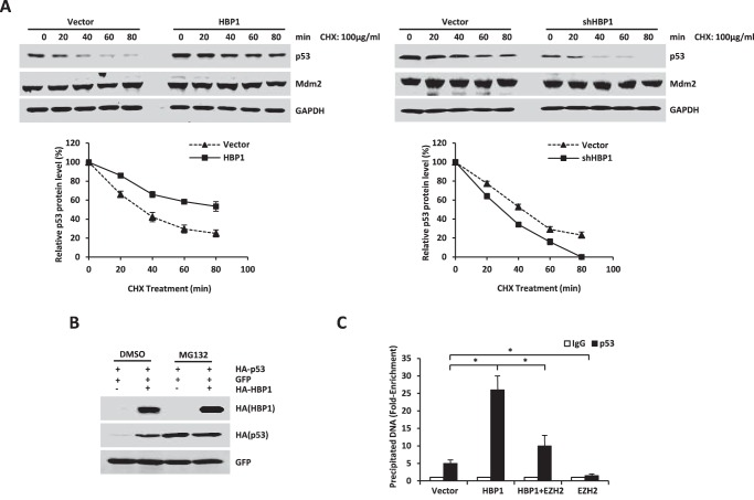 HBP1 promotes p21 transcription by enhancing p53 protein stability. A , HBP1 prolongs the half-life of p53. A549 cells were stably transfected with PITA, PITA-HA-HBP1 or pLL3.7, and pLL3.7-shHBP1 through lentiviral infection. Cells were incubated with the protein translation inhibitor cycloheximide ( CHX ) for 0, 20, 40, 60, or 80 min before harvest. P53 and Mdm2 protein levels were detected by Western blotting. GAPDH was used as the loading control for this turnover experiment ( top panel ). Densitometry is plotted for the average ± S.D. of three independent experiments ( bottom panel ). B , HBP1 does not elevate p53 levels in the presence of MG132. H1299 cells were cotransfected with p53 and GFP with or without HBP1. 42 h after transfection, cells were incubated with ( third and fourth lanes ) or without ( first and second lanes ) MG132 for another 6 h. p53 protein was detected by Western blotting. Level of GFP is shown as equal transfection efficiency. C , overexpression of HBP1 enhances the binding of p53 to the p21 promoter. H1299 cells were transfected with HA-tagged p53 and pcDNA3, pcDNA3-HA-HBP1, pcDNA3.1-His-EZH2, or both pcDNA3-HA-HBP1 and pcDNA3.1-His-EZH2. 24 h after transfection, cells were lysed for ChIP assay. The lysates were incubated with anti-p53 antibody or control IgG. The precipitated DNA fragments were amplified with specific oligonucleotides for the p21 promoter by real-time PCR. Results are representative of three independent experiments, and values are the mean ± S.E. *, p