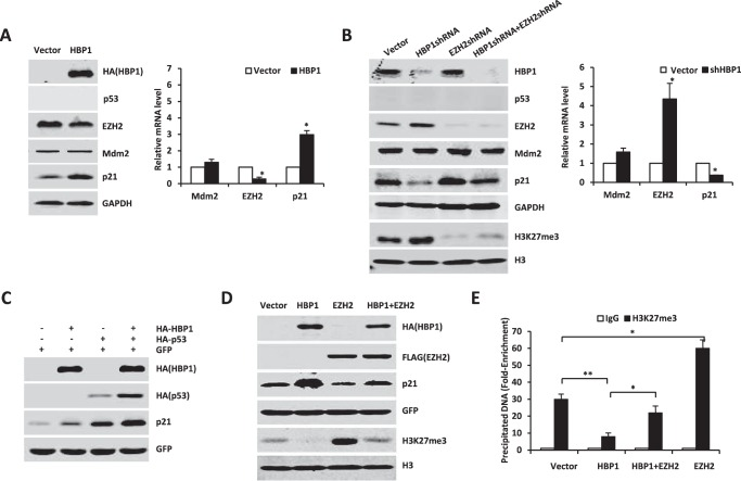 HBP1 also enhances p21 transcription in the absence of p53. A–C , HBP1 regulates p21 and EZH2 expression in the absence of p53. A , H1299 cells were transfected with pcDNA3 or pcDNA3-HA-HBP1. The protein levels of p21, Mdm2, and EZH2 were detected by Western blotting ( left panel ), and mRNA from the same cells was extracted and analyzed by real-time PCR. Results are representative of three independent experiments, and values are the mean ± S.E. *, p
