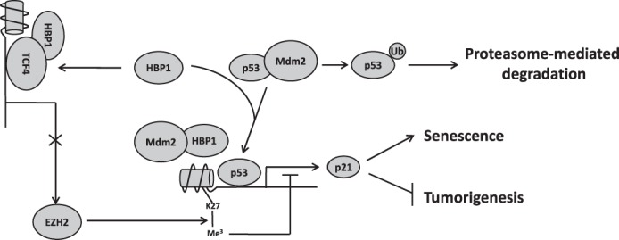 Model for the regulation of p21 by HBP1 and its role in senescence induction and tumor inhibition. HBP1 can positively regulate p21 expression through both the p53/Mdm2 pathway and TCF4/EZH2 pathway. HBP1 binds Mdm2 through the repression domain and inhibits the interaction between p53 and Mdm2, thus abrogating Mdm2-mediated p53 degradation. The stabilized p53 then activates p21 transcription and leads to p21 elevation. HBP1 can also bind to TCF4 and inhibit the activation of EZH2 transcription by TCF4, resulting in a decrease in the level of H3K27me3 on the p21 promoter. The H3K27me3 hypomethylation state of the p21 promoter enhances p53 binding and p21 transcriptional activation. Overall, HBP1-mediated activation of p21 through Mdm2/p53 and TCF4/EZH2 pathways synergistically contributes to HBP1-induced premature senescence and tumor inhibition.