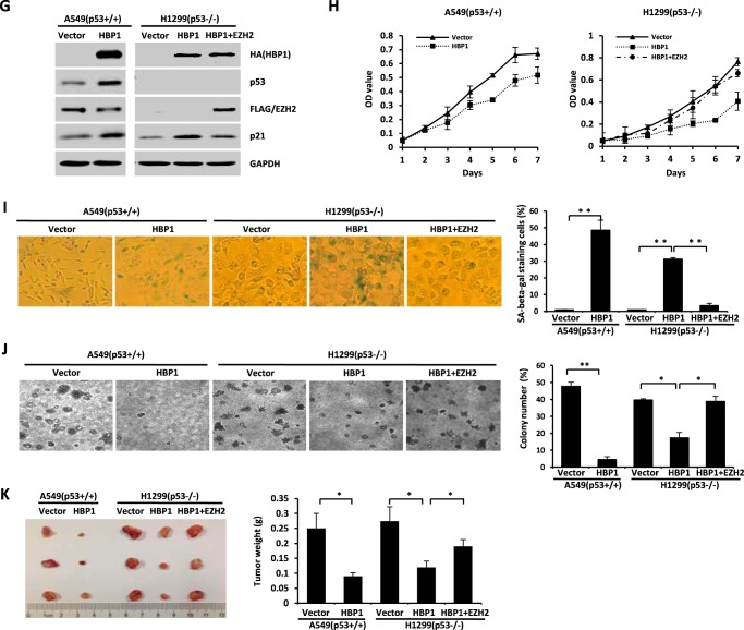 HBP1-mediated activation of p21 through the Mdm2/p53 and TCF4/EZH2 pathways contributes to HBP1-induced premature senescence and tumor inhibition. A , the protein levels of HBP1, p53, EZH2, and p21 during replicative senescence. Shown is an immunoblot ( IB ) of WI-38 cells in young and old stages. The expression of endogenous HBP1, p53, β-catenin, EZH2, Wnt2, p21, and p16 is shown. GAPDH was used as a loading control ( left panel ). WI-38 cells were lysed with IP lysis buffer and then subjected to immunoprecipitation with anti-HBP1 antibody followed by Western blotting analysis with anti-Mdm2 and anti-TCF4 antibodies ( right panel ). B , exogenous EZH2 inhibits p21 expression. The protein levels of EZH2, p53, and p21 were measured by immunoblotting in WI-38 cells (PD20) retrovirally transduced with EZH2 or control vector. C , EZH2 attenuates HBP1 elevation of p21 when p53 is knocked down by shRNA. The levels of EZH2, p53, p21, and GAPDH (as a control) were determined by Western blotting of WI-38 cells retrovirally transduced with control vector, HBP1, HBP1 + p53shRNA, or HBP1 + EZH2 + p53shRNA. D and E , EZH2 attenuates HBP1-induced cell growth arrest when p53 is knocked down by shRNA. MTT ( D ) and BrdU ( E ) incorporation assays were conducted with WI-38 cells retrovirally transduced with control vector, HBP1, HBP1 + p53shRNA, or HBP1 + EZH2 + p53shRNA. The means ± S.E. for three independent experiments are shown. OD , optical density. *, p