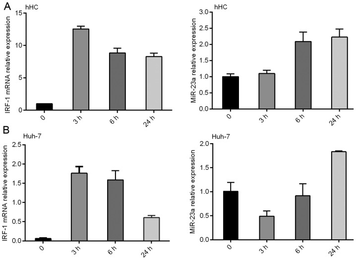 Expression of miR-23a is inversely correlated with IRF-1 mRNA in (A) primary human hepatocytes (hHC) and (B) HCC Huh-7 cells induced by IFNγ (250 IU/ml) for 3–24 h. Results shown are representative of three similar experiments.