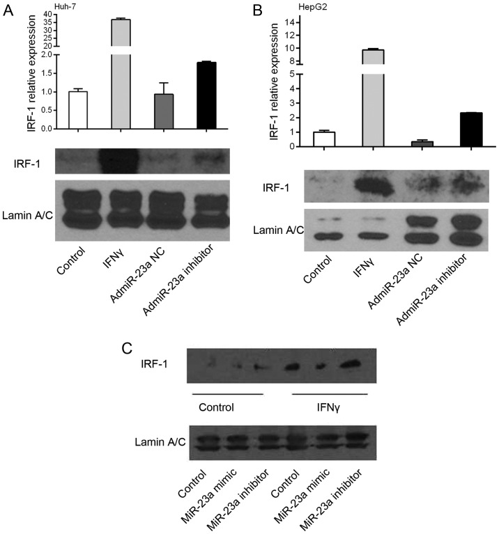 IRF-1 expression is downregulated by miR-23a. IRF-1 mRNA expression as determined by real-time PCR was induced by IFNγ stimulation in (A) Huh-7 and (B) HepG2 cells. miR-23a inhibitor increased basal IRF-1 mRNA levels, while the miR-23a negative control (NC) had no effect. (C) The basal IRF-1 nuclear protein level in the HepG2 cells was increased by the miR-23a inhibitor. In contrast, the miR-23a mimic decreased the IFNγ-induced IRF-1 nuclear protein level, while the miR-23a inhibitor had no significant effect compared to IFNγ alone. IRF-1 protein levels were measured by western blotting. IFNγ (250 IU/ml) for 6 h. Results shown are representative of two similar experiments.