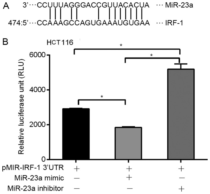 miR-23a regulates IRF-1 mRNA by binding to the IRF-1 3′-untranslated region (3′UTR). (A) Bioinformatic analysis indicated a putative miR-23a-specific binding site in the IRF-1 3′UTR. (B) IRF-1 3′UTR luciferase reporter activity was decreased by the miR-23a mimic, and increased by the miR-23a inhibitor in the HCC HCT116 cells ( * p