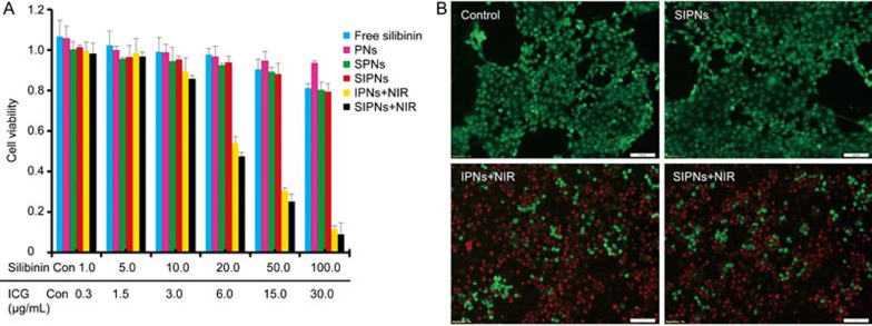 (A) The in vitro cytotoxicity effects of free silibinin, PNs, SPNs, SIPNs, IPNs with NIR irradiation and SIPNs with NIR irradiation at different concentrations on 4T1 cells after 24 h incubation are shown. (B) The photothermal cytotoxicity images of the nanoparticles in 4T1 cells are represented. The live cells were stained with calcein AM (green), and the dead cells were stained with EthD-1 (red). Scale bar=100 μm.