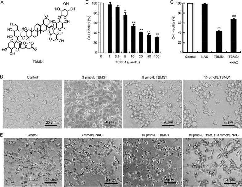 Antiproliferative effects of TBMS1 on growth and morphological characteristics of DU145 prostate cancer cells. (A) Chemical structure of TBMS1. (B) Dose-dependent effect of TBMS1 on the viability of DU145 cells. The cells were treated with the indicated concentrations of TBMS1 for 24 h. Cell viability was evaluated using the MTT assay. Data are expressed as the mean±SEM of three independent experiments. * P