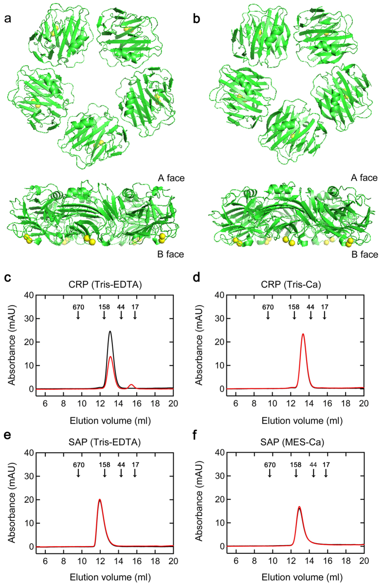 Structure and assembly states of CRP and SAP. ( a,b ) Structures of pentameric CRP and SAP. These figures were prepared with the PDB files 1B09 for CRP ( a ) and 1SAC for SAP ( b ) using the software PyMOL. Pentamers were viewed along the 5-fold axis of symmetry from the A face (upper) and perpendicular to the 5-fold axis (lower). Yellow: calcium ions. ( c–f ) Analysis of molecular weight distribution of CRP and SAP by gel filtration chromatography. CRP ( c,d ) and SAP ( e,f ) at 1.5 μM were incubated in Tris-EDTA (pH 7.5) ( c,e ), Tris-Ca (pH 7.5) ( d ), or MES-Ca buffer (pH 7.0) ( f ) at 37 °C for 0 (black line) or 72 h (red line), then 300 μL aliquots were applied on a column equilibrated and eluted with the same buffer at 15 °C. Elution was monitored by absorbance at 280 nm. Arrows in each figure indicate the elution volumes of molecular weight markers (kDa).
