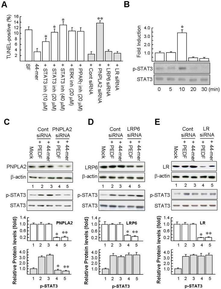 Effect of STAT3 inhibitor and PEDF receptor siRNA on hepatocyte apoptosis induced by serum deprivation. (A) Inhibitor of STAT3 prevents the induction of PEDF by the 44-mer. Hepatocytes were pretreated with STAT3 inhibitor or ERK inhibitor (PD98059) or PPARγ antagonist (GW9662) for 2 h and then treated with the 44-mer for 24 h. To examine the role of PEDF receptor on antiapoptotic effect of the 44-mer, hepatocytes were transfected with the indicated siRNA. Two days later, the hepatocytes were starved of serum and exposed to the 44-mer for further 24 h. Subsequently, apoptosis was determined by TUNEL assay. Graphs represent means ± SE (n = 4). * P