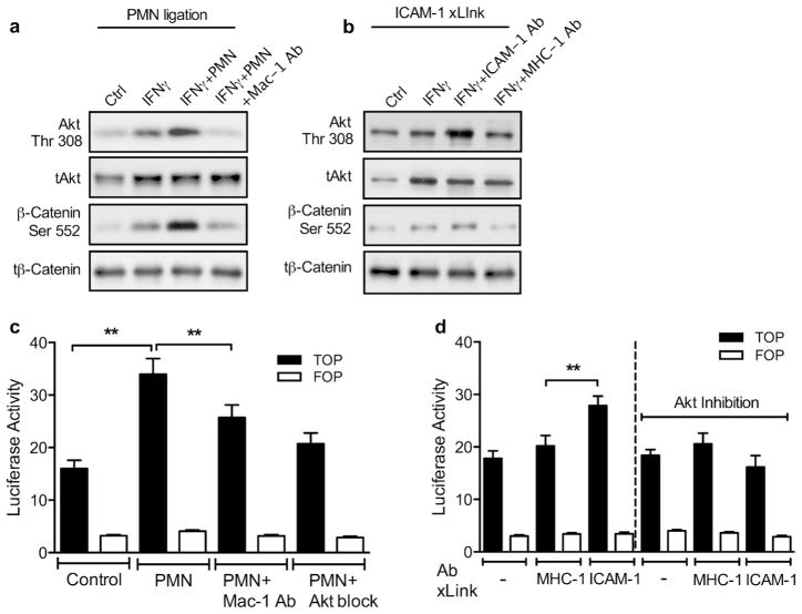 PMN engagement of ICAM-1 triggers activation of Akt and β-catenin signaling Control and IFNγ-stimulated T84 IECs grown on permeable supports were incubated with either PMN that migrated across T84 IECs (2.5×10 5 cells/well) (a), or with anti-ICAM-1 cross-linking antibodies (to specifically cluster ICAM-1), (b) . The effects of PMN apical adhesion and ICAM-1 cross-linking on Akt and β-catenin activation (increased phosphorylation) were assessed using Western blot analysis. All western blots are representative of 3–5 independent experiments. (c-d) β-catenin transcriptional activity was analyzed using the TopFlash luciferase reporter assay. SW480 IECs were transfected with the β-catenin reporter (TopFlash; full bars) or its mutated form (FopFlash; empty bars) 72h prior to the addition of PMN or Ab-mediated ICAM-1 cross-linking. Where indicated, inhibitory Abs to CD11b (Mac-1, 20μg/ml) were introduced in combination with PMNs. IECs were incubated with Akt inhibitor (Inhibitor VIII, 10μM) 30 minutes prior to addition of either PMNs or anti-ICAM-1 cross-linking Abs. PMN ligation or specific Ab-mediated engagement of ICAM-1 triggers activation of Akt and β-catenin signaling. N =3 independent experiments; ** p