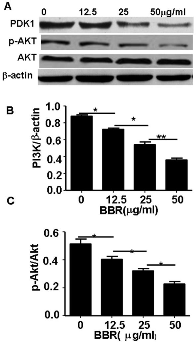 Effect of BBR on the expression of PI3K and Akt A: A representative result for Western blot analysis the expression of PI3K and Akt; B: Semi-quantitative analysis of U20S cell studied in each group. The relative amount of PI3K in each group was normalized by β-actin, *P