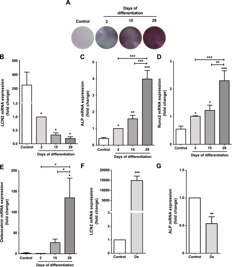 Evaluation of MC3T3 cell differentiation. MC3T3 cells were differentiated for 2, 15 or 29 days in the presence of 50 μg/ml L-ascorbic acid and 10 mM <t>β-glycerophosphate.</t> Then, matrix mineralization was evaluated using alizarin red staining ( A ), and LCN2 ( B ), ALP ( C ), Runx2 ( D ) and osteocalcin ( E ) gene expression was evaluated by real-time PCR. MC3T3 cells were differentiated for 15 days as described above and then were treated for 48 h with the de-differentiating factor 10 μM dexamethasone (Dx) to measure LCN2 ( F ) and ALP ( G ) gene expression. The results are presented as the mean ± SEM of at least three independent experiments. *p