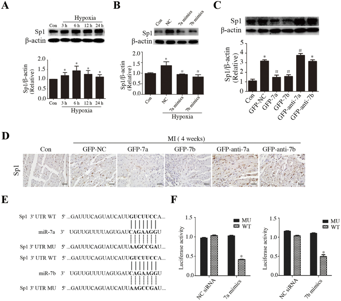miR-7a/b repressed the downstream target Sp1 expression in vivo and in vitro . ( A ) Western blots of Sp1 in cells exposed to hypoxia for different time, ( B,C ) Western blots showing the effect of miR-7a/b on regulation of Sp1 in vitro ( B ) and in vivo ( C ). ( D ) Immunostaining of Sp1 in vivo (scale bar: 20 μm). ( E ) Conserved miR-7a/b binding sites and mutated binding sites in 3′ untranslated region (UTR) of Sp1. ( F ) Luciferase activity analysis. Con: sham mice without LAD occlusion. MI: mice with LAD occlusion. Con: normal cultured H9c2 cells ( A,B ) or sham mice without LAD occlusion ( C,D ). MI: mice with LAD occlusion. NC: H9c2 cells exposed to hypoxia for 12 h. Data are the mean ± SD, n = 3/group ( A–C , F ), n = 6/group ( D ), *p