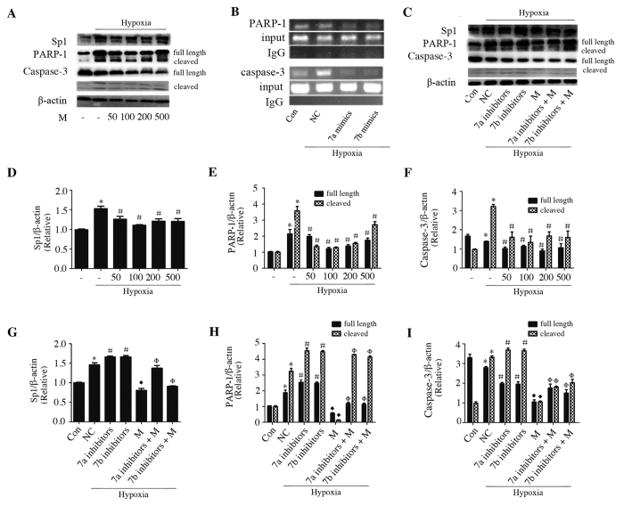 Sp1 binding activity mediated miR-7a/b-regulated Sp1, PARP-1 and caspase-3 expression in hypoxia H9c2 cells. ( A,D–F ) Western blots of Sp1, PARP-1 and caspase-3 in hypoxic cells pretreated with different concentration of mithramycin (nM). ( C,G–I ) Western blots of Sp1, PARP-1 and caspase-3 in hypoxic H9c2 cells transfected with miR-7a/b inhibitors that treated with or without 100 nM mithramycin. ( B ) Representative ChIP assays. Con: normal cultured H9c2 cells, M: mithramycin, *p