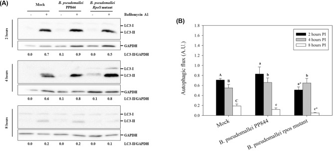 Assessment of autophagic flux in HC04 cells. ( A ) Human liver HC04 cells were mock infected or infected with B. pseudomallei or its rpoS mutant at MOI 10 in the presence or absence of bafilomycin A1 and at 2, 4 and 8 h.p.i. expression of <t>LC3-I</t> (14kDa) and II (16kDa) determined by western blotting. <t>GAPDH</t> were used as a loading control for each condition. The intensity of LC3-II and GAPDH were determined using ImageJ software and the numbers below the blots show the ratio between LC3-II and GAPDH. ( B ) The plot of autophagic flux in HC04 cells as determined from A. Statistical analyses were undertaken using SigmaPlot 11.0 one-way ANOVA. Lower case letters indicate a significant difference from the corresponding upper case letters ( P -value