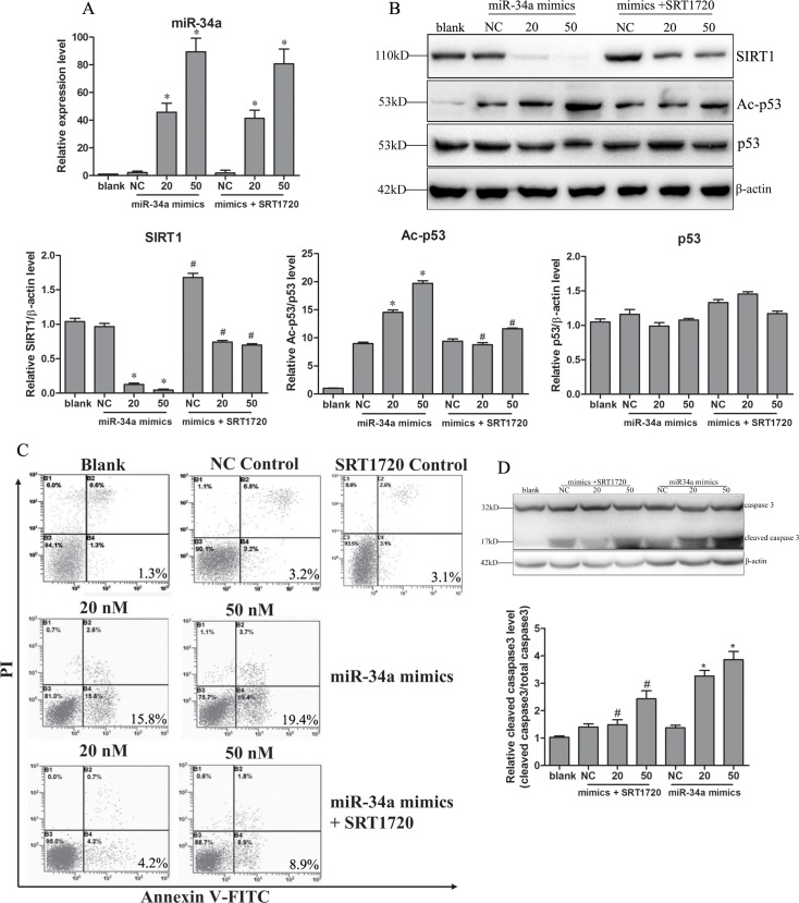 Upregulation of miR-34a-induced apoptosis of hepatocytes. Human normal hepatocytes cell line L-02 cells were transfected with miR-34a mimics (20, 50 nM) or negative miRNA control (NC) with or without SRT1720 for 48 h. Expression of miR-34a was confirmed (A) at 24 h after transfection. Changes in the expression of SIRT1, p53 and Ac-p53 were determined (B) after 48 h. The apoptosis of hepatocytes was detected using an Annexin V-FITC/PI Apoptosis Detection Kit in a flow cytometry system (C) or by detecting the cleavage of caspase3 (D). Blank, L-02 cells; NC, negative control (L-02 cells transfected with negative mimics). * P
