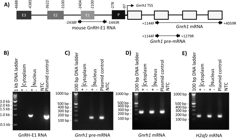 GnRH-E1 RNA is localized in the GT1-7 neuron nucleus. (A) Schematic diagram of the conserved regulatory elements upstream of the mouse Gnrh1 TSS, which contains enhancers 1, 2, and 3 (E3, E2, E1, respectively), the promoter (P), and the Gnrh1 gene with four exons (white boxes). Coordinates above the regulatory elements indicate positions with respect to the Gnrh1 TSS. RT-PCR primers used in B-D are indicated by arrows, and expected PCR products are represented by a connecting line. Positions of PCR primers are aligned to the mouse conserved regulatory region diagrammed above. Nuclear and cytoplasmic extracts from GT1-7 neurons were analyzed for GnRH-E1 RNA (B), Gnrh1 pre-mRNA (C), Gnrh1 mRNA (D), and H2afz mRNA control (E) by RT-PCR. RT-PCR analysis was performed on random hexamer-primed cDNA, where cDNA synthesized with (+) and without (-) reverse transcriptase were analyzed in parallel. PCR loading controls are plasmid containing the -3568/-1128 bp segment upstream of the Gnrh1 TSS and no-template control (NTC). The sizes of the PCR amplicons were marked by a 100 bp DNA ladder or a 1 kbp DNA ladder where indicated, that were resolved on the agarose gel in parallel.