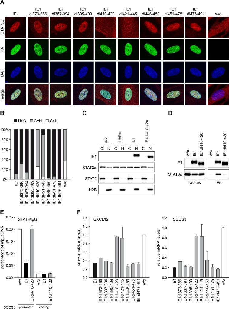 Residues within IE1 region 410–445 are required for targeting of STAT3 and down-regulation of STAT3-responsive genes. (A) TetR cells without (w/o) or with inducible expression of the indicated HA-IE1 proteins were treated with dox for 48 h. During the final 24 h of dox treatment, cells were kept in medium with 0.5% FBS. Subcellular localization of endogenous STAT3α in IE1 expressing cells was analyzed by indirect immunofluorescence microscopy. Samples were simultaneously reacted with a rabbit monoclonal antibody to STAT3α and a mouse monoclonal antibody to HA-tagged IE1, followed by incubation with a rabbit-specific Alexa Fluor 594 conjugate and a mouse-specific Alexa Fluor 488 conjugate. Host cell nuclei were visualized by 4',6-diamidino-2-phenylindole (DAPI) staining. Additionally, merge images of STAT3α, IE1 and DAPI signals are presented. (B) The percentage of cells with i) predominantly nuclear STAT3α staining (N > C), ii) equally strong nuclear and cytoplasmic STAT3α staining (N = C) and iii) predominantly cytoplasmic STAT3α staining (C > N) was determined for 100 randomly selected cells per sample described in (A). (C) TetR cells without or with inducible expression of HA-tagged wild-type IE1 or IE1dl410-420 were treated with dox for 72 h and with solvent (w/o) or IL6 plus IL6R (IL6/Rα) for 30 min. Cytoplasmic and nuclear extracts were prepared and analyzed by immunoblotting for histone H2B, STAT2, STAT3α and IE1. (D) TetR cells without (w/o) or with inducible expression of HA-tagged wild-type IE1 or IE1dl410-420 were treated with dox for 72 h. Whole cell extracts were prepared and used for immunoprecipitations (IPs) with anti-HA-agarose. Samples of lysates and immunoprecipitates were analyzed by immunoblotting for IE1 and STAT3α. (E) TetR cells without (w/o) or with inducible expression of HA-tagged wild-type IE1 or IE1dl410-420 were treated with dox for 72 h and with IL6 plus IL6R for 30 min. Samples were subjected to ChIP with rabbit polyclonal antibodies 