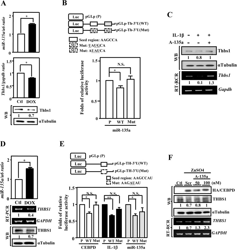 miR-135a suppresses Thbs1/THBS1 transcription through its 3′UTR region. a miR-135a attenuates the expression of Thbs1. Induced miR135a in primary astrocytes with DOX-inducible miR-135a expression system; qRT-PCR and western blot analysis confirmed that miR-135a, Thbs1 mRNAs, and proteins levels, respectively. b Two positions of the Thbs1 3′-untranslated region are predicted to be targets of miR-135a. The seed regions were indicated by the open box (upper panel). Luciferase activity of reporter constructs was measured after co-transfected with pre-miR-135a. c Antisense of miR135a (A-135a) antagonize the effects of Cebpd. Induced A-135a in primary astrocytes with IPTG-inducible A-135a expression system and treated with or without IL-1β treatment. d Induced miR-135a expression repress the THBS1 expression. In stable U373MG cells with DOX-inducible miR-135a expression system, the expression of miR-135a and the level of THBS1 mRNAs and proteins were examined by qRT-PCR, RT-PCR, and Western blot, respectively. e IL-1β and CEBPD suppresses THBS1 transcription via miR-135a binding motif. The seed region was indicated by the open box (upper panel). Luciferase activity of reporter constructs was measured after co-transfected with pre-miR-135a, CEBPD expression vectors, or treated IL-1β. f Antagomir of miR135a (AM135a) dose-dependently antagonized the effects of CEBPD. AM135a or scramble antagomir were transfected into the U373MG stable cells with zinc-inducible CEBPD expression system and then incubated in the presence or absence of 100 μM ZnSO4 for 6 h. RT-PCR and Western blot analysis were performed to examine the expressions of THBS1 mRNA and protein. The data represent the mean ± standard error of three independent experiments, each performed in triplicate. (* P
