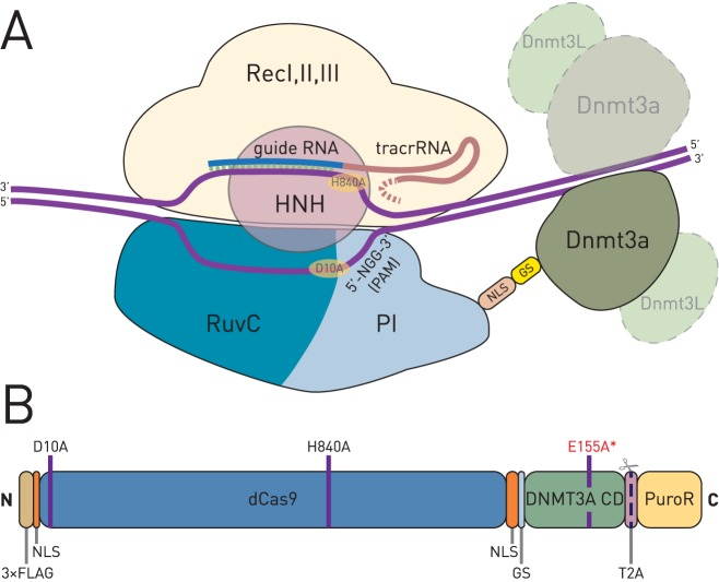 ( A ) Schematic representation of the <t>dCas9-DNMT3A</t> fusion protein in complex with sgRNA and its target DNA sequence. The sgRNA is bound in a cleft between the recognition lobe (RecI, II and III domains) and the nuclease lobe (HNH, RuvC and PI domains) of Cas9 protein. The C–terminus of Cas9 is located on the PAM–interacting (PI) domain and faces the side where the bound genomic DNA protrudes with its 3′ end relative to the sgRNA sequence. The sgRNA is a synthetic fusion between bacterial crRNA and tracrRNA, with guide sequence and tracrRNA part shown in different colors. The catalytic domain of DNMT3A recruits its partner for dimerization and DNMT3L proteins in vivo (dashed lightened symbols). NLS, nuclear localization signal; GS, Gly 4 Ser peptide linker. ( B ) Domain structure of the dCas9–DNMT3A fusion protein. The nuclease-inactivating mutations D10A and H840A of Streptococcus pyogenes Cas9 are indicated. Deactivated Cas9 was fused to the catalytic domain of the human de novo DNA methyltransferase 3A (DNMT3A CD) using a short Gly 4 Ser peptide (GS). The dCas9–DNMT3A is expressed as a bicistronic mRNA, along with puromycin resistance gene (PuroR, shown) or <t>EGFP</t> gene, thus enabling selection of transfected cells. The PuroR (or EGFP) moiety is separated during translation by action of the T2A self-cleaving peptide. The inactive fusion methyltransferase (dCas9-DNMT3A-ANV) for use as a negative control contains an additional substitution (E155A*) in the active site of DNMT3A. 3x FLAG, epitope tag; NLS, nuclear localization signal.