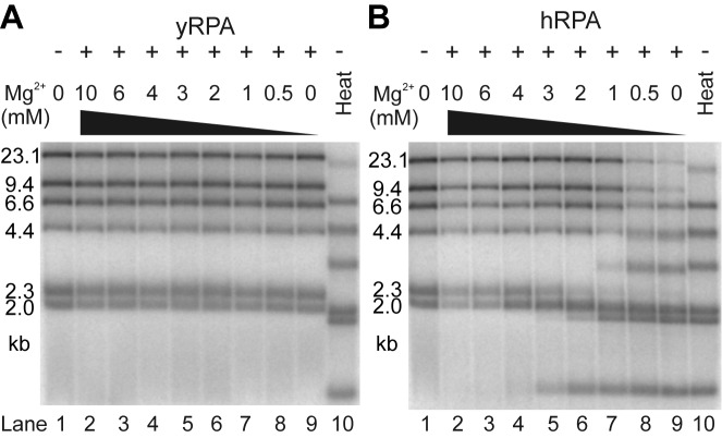DNA melting capacity of human RPA depends on Mg 2+ concentration. ( A ) yRPA does not melt dsDNA. Lambda/HindIII DNA (lane 1) was incubated with 2.2 μM yRPA (corresponding to 300% saturation) with various magnesium acetate concentrations (lanes 2–9, 0–10 mM as indicated) for 30 min at 30°C and subsequently analyzed on a 1% agarose gel. Throughout the range of magnesium concentrations tested, no melting occurred ( cf . heat denatured substrate in lane 10). ( B ) Experiment as in panel a but with 2.2 μM hRPA (corresponds to 375% DNA saturation) incubated for 30 min at 37°C. In contrast to yRPA, hRPA melts dsDNA at Mg 2+ concentrations below 3 mM (lanes 5–9).
