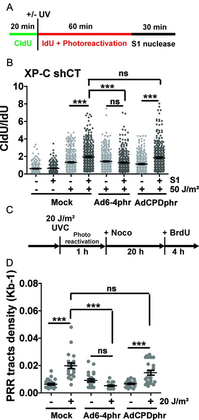 Effects of 6-4PP and CPD photorepair on ssDNA gaps formation and postreplication repair (PRR) tracts. XP-C shCT cells were transduced with Ad6-4phr, AdCPDphr or mock-treated. ( A ) Scheme of DNA fiber assay with the ssDNA-specific S1 nuclease in photorepair conditions. ( B ) CldU/IdU ratios from XP-C cells exposed to 0 or 50 J/m 2 and treated or not with S1 from three independent experiments (≥100 fibers for 0 J/m 2 and ≥150 fibers for 50 J/m 2 each). ( C ) Scheme for PRR tract detection in photorepair conditions. ( D ) Quantification of PRR tracts density 24 h upon exposure to 0 or 20 J/m 2 . Statistical significances were determined by one-way ANOVA followed by Bonferroni test (ns, non significant; * P