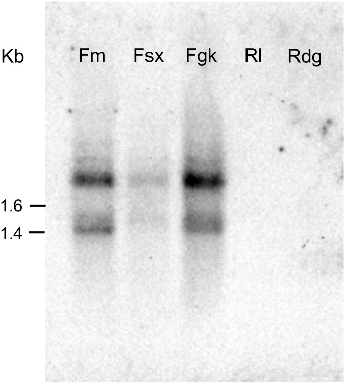 Identification of the Abe GH5-1 gene by Southern blotting. Genomic <t>DNA</t> isolated from the five Aphelenchoides besseyi isolates were digested with <t>Hinf</t> I , and it was hybridized with an AbeFm-GH5-specific DNA probe.