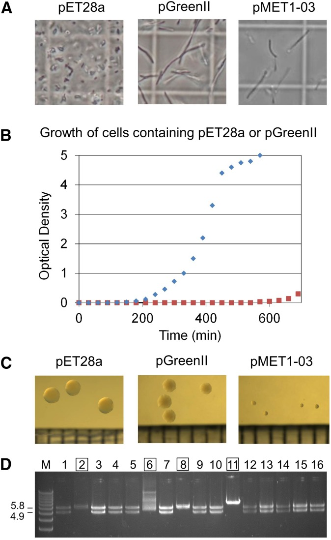 Growth of DH5α cells containing pET28a, pGreenII, and pMET1-03. (A) Cell morphology. Aliquots of culture were viewed using a light microscope under phase contrast at 100 × magnification with an oil immersion objective. A graticule was used to provide a measuring scale. The length of the sides of the visible squares was 50 µm. The length of a typical E. coli cell is 2 µm. (B) The growth of E. coli using overnight cultures as an inoculum. 50 ml of LB media (containing 50 µg/ml kanamycin) within a 250 ml Erlenmeyer flask was inoculated with 0.2 OD 600 units of cells from a 5 ml overnight culture (see Materials and Methods ). Growth was monitored by measuring OD 600 values. The data-points for pET28a and pGreenII are represented by diamonds and squares, respectively. (C) Colony morphology. The pictures are of primary transformants following overnight incubation. The graduations at the bottom of each image in this panel correspond to 1 mm. (D) Restriction enzyme analysis of a selection of plasmids isolated from mutants that produce large colonies. The lane labeled M contains the 1 kb Plus DNA Ladder (Life Technologies). The mutants are in lanes 1–16. Numbering on the left of the panel indicates the expected sizes of the two fragments produced by Eco RI digestion of pMET1-03. The smaller of the two fragments corresponds to the MET1 cassette destined for plants. Labels that are outlined indicate plasmids with obvious rearrangements. The gel used for electrophoresis was composed of 0.8% [w/v] agarose and stained with ethidium bromide. LB, <t>Luria</t> <t>Bertani;</t> OD, optical density.