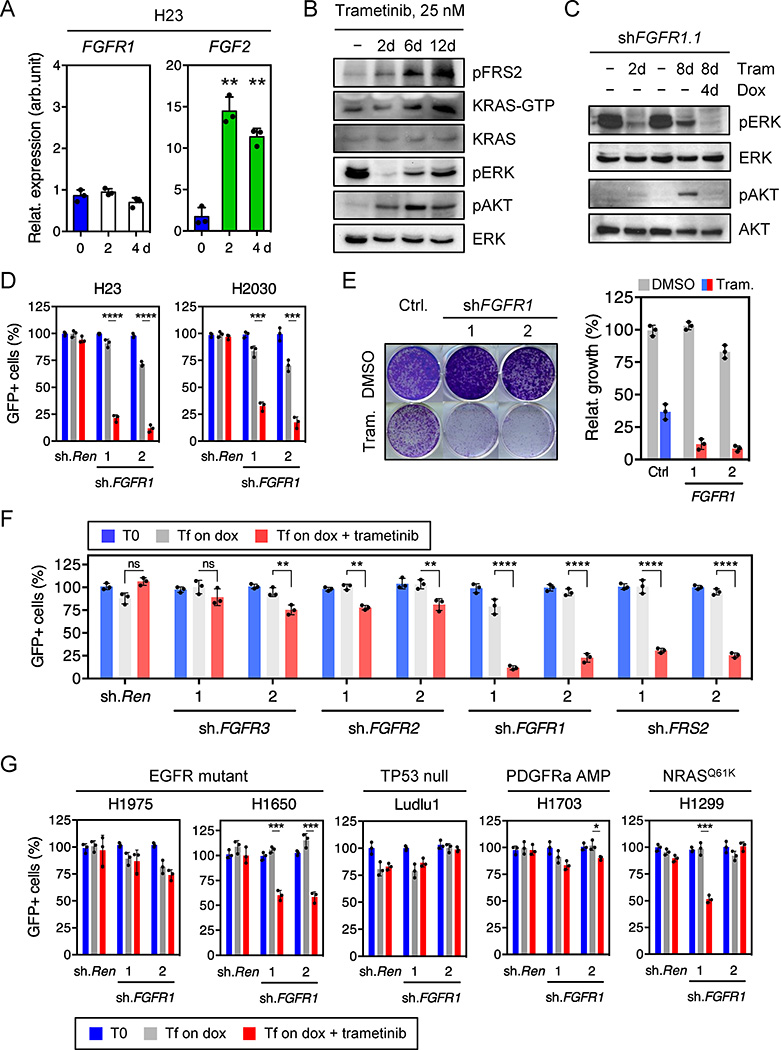 Feedback activation of FGFR1 mediates adaptive resistance to trametinib in KRAS-mutant lung cells a , qRT-PCR for FGFR1 and FGF2 in H23 cells treated with trametinib for the indicated times (n = 3). b , Immunoblot of H23 cells treated with 25 nM of trametinib for various times. c , Immunoblot of H23 cells transduced with a doxycycline-inducible shRNA targeting FGFR1 and treated with trametinib (25 nM) and doxycycline for the times shown. d , Quantification of fluorescent cells in competitive proliferation assay in H23 and H2030 cells transduced with doxycycline-inducible non-targeting control ( Ren ) or FGFR1 shRNAs (n = 3). e , Clonogenic assay of H23 cells transduced with FGFR1 and non-targeting control shRNAs, and cultured with DMSO or trametinib (25 nM). Relative growth of DMSO- (grey bars) and trametinib-treated cells (blue and red bars) is shown (right) (n = 3). f, g , Quantification of fluorescent cells in competitive proliferation assays in H23 ( f ) and the indicated lung cancer cells ( g ) transduced with doxycycline-inducible non-targeting control ( Ren (Renilla)) or the indicated shRNAs (n = 3). a , Paired two-tailed t -test. d, f, g , Unpaired two-tailed t -test. Data presented as mean ± s.d. ns: not significant, * P