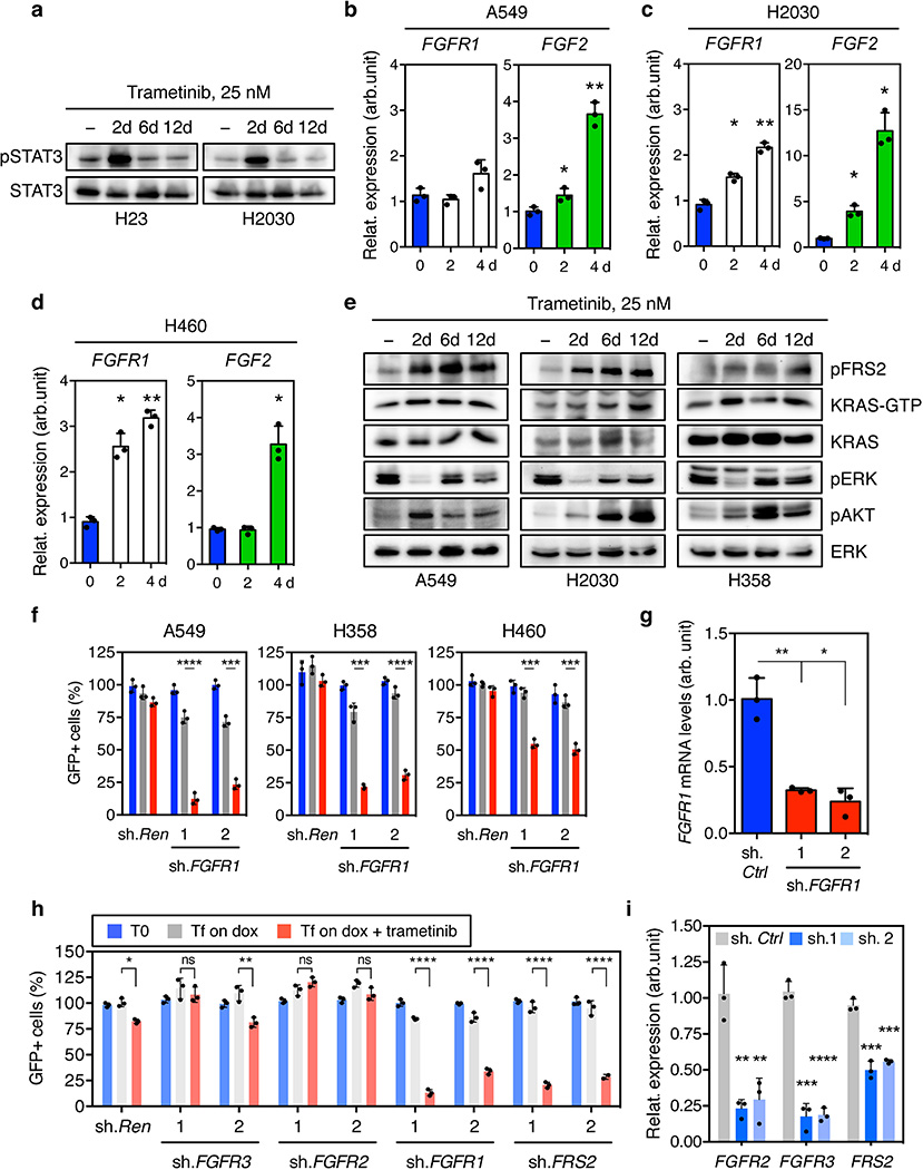 Feedback activation of FGFR1 signaling leads to adaptive resistance to trametinib in KRAS-mutant lung cancer cells a , Immunoblot analysis of KRAS-mutant lung cancer cell lines H23 and H2030 treated with 25 nM trametinib for various times. b, c, d , qRT-PCR for FGFR1 and <t>FGF2</t> in A549 ( b ), H2030 ( c ) and H460 ( d ) cells treated with trametinib for the indicated times. Data presented as mean normalized for FGFR1 and FGF2 expression ± s.d. (n = 3). e , Immunoblot analysis of A549, H2030, and H358 cells treated with trametinib (25 nM) for various times. f , Quantification of fluorescent cells in competitive proliferation assays in A549, H358, and H460 cells transduced with doxycycline-inducible non-targeting control ( Ren ) or FGFR1 shRNAs. Data presented as mean ± s.d. (n = 3). g , qRT-PCR for FGFR1 in H23 cells transduced with non-targeting control and FGFR1 shRNAs. Data presented as mean normalized for FGFR1 expression ± s.d. (n = 3). h , Quantification of fluorescent cells in competitive proliferation assays in A549 cells transduced with non-targeting control ( Ren ) or the indicated shRNAs. Data presented as mean ± s.d. (n = 3). i , qRT-PCR for FGFR2, FGFR3, and FRS2 in A549 cells transduced with non-targeting control, FGFR2, FGFR3 and FRS2 shRNAs. Data presented as mean normalized for FGFR2, FGFR3, and FRS2 expression ± s.d. (n = 3). b–d , paired two-tailed t -test. f–i , unpaired two-tailed t -test. ns: not significant, * P