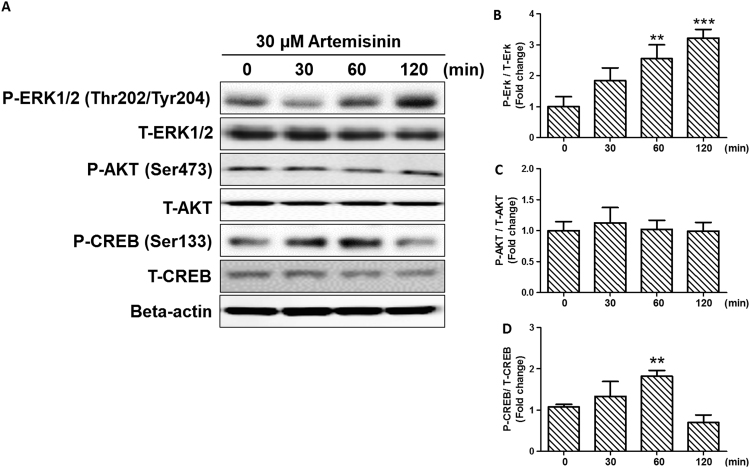 Involvement of ERK/CREB signaling in the cytoprotective effect of Artemisinin. (A) D407 cells were pre-treated with 30 µM Artemisinin. The cells were collected at 0, 30, 60, and 120 min. The expression of phosphorylated ERK1/2, total ERK1/2, phosphorylated Akt, total Akt and phosphorylated CREB, total CREB and beta-actin were detected by Western blotting with specific antibodies (A). (B)(C)(D) Quantification of representative protein band from Western blotting. **P