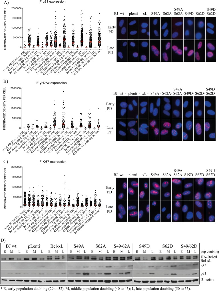 Effect of Bcl-xL and Bcl-xL phosphorylation mutant expression on senescence-associated biomarkers in BJ cells. IF-revealed expression level of (A) p21Waf1/Cip1, (B) γH2A.X, and (C) Ki-67 in early versus late population doubling of control BJ cells and BJ cells expressing empty lentivirus vector or lentivirus vectors encoding Bcl-xL(wt) and various Bcl-xL phosphorylation mutants. Left panels, X axis: The BJ cell population is indicated with population doubling range (DP [range]) and the numbers of individual cells analysed and represented in the histographs ( n ). Data were collected from a multitude of independent micrographs. Right panels: Typical micrographs showing all cell populations at early (29 to 32) and late (50 to 55) population doubling. ( D ) Expression kinetics of Bcl-xL, HA-Bcl-xL (and phosphorylation mutants), p53 and p21Waf1/Cip1 in the control BJ cell population and BJ cells expressing empty lentivirus vector or lentivirus vectors encoding Bcl-xL(wt) and the various Bcl-xL phosphorylation mutants at early (29 to 32), middle (40 to 45) and late (50 to 55) population doublings, revealed by Western blotting; β-actin expression is shown as control. SDS-PAGE was run on 9–18% gradient gels.