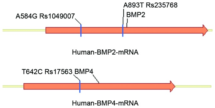 Schematic diagrams of rs1049007, rs235768 and rs17563 locations within the translated regions of the BMP 2 and 4 genes. BMP, bone mor phogenetic protein.