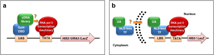 Identification and functional validation of TFs and unconventional activators. a. Schematic representation of the transcriptional activator trap (TAT) approach, as applied to the identification and functional validation of AD-containing, conventional and unconventional transcriptional activators. Reporter gene expression ( HIS3 , URA3 and LacZ ) is activated if the query TF (a selected subset or a whole cDNA library; green ) fused to the Gal4-DBD ( blue ) behaves as a transcriptional activator — i.e., it is capable of recruiting RNA Pol II transcription machinery ( red ). UAS: upstream activating sequence (Gal4 DNA-binding site); TATA: TATA box. b. Nuclear transportation trap (NTT) assay used to test the autonomous nuclear localization capacity of putative unconventional activators. A chimeric protein (NLS-less TF, blue ) comprising a modified bacterial DBD (LexA), a portion of the E. coli maltose binding protein and the yeast Gal4 AD, but lacking a nuclear localization signal (NLS), is fused to a candidate unconventional activator (UA, green ). If the latter contains a NLS (either recognizable in silico or cryptic), it will direct the chimeric protein to the nucleus, thus leading to reporter gene ( HIS3 , LacZ ) activation. The transcriptional machinery is in red . LBS: LexA binding site; TATA: TATA box. (For interpretation of the references to color in this figure legend, the reader is referred to the web version of this article.)