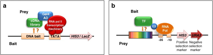 """Heterologous in vivo approaches for TF DNA binding site identification. a. The yeast one-hybrid (Y1H) is a DNA-centered approach used to identify TFs capable of binding to a specific DNA element. The DNA sequence to be interrogated (""""DNA bait"""") is cloned into a selectable yeast plasmid, upstream of reporter genes such as HIS3 and LacZ , and subsequently integrated into a mutated marker locus within the yeast genome. A TF of interest (either a selected one or a whole cDNA library; green ) is expressed as a fusion with the yeast Gal4 activation domain (Gal4 AD, shown in blue ). Positive hits (i.e., TFs bearing a DBD capable of interacting with the bait sequence) activate reporter gene expression. The transcriptional machinery is in red . TATA: TATA box. b. The bacterial one-hybrid (B1H) is a TF-centered approach used to identify the DNA element bound by a (putative) TF or activator. A bi-cistronic vector bearing a randomized region ( rainbowed ) upstream of two reporter genes ( HIS3 and URA3 ) is used as a """"prey"""" to identify the DNA elements bound by the """"bait"""" TF (or putative activator) (shown in green ) fused to the ω subunit ( blue ) of bacterial RNA polymerase ( orange ). The yeast URA3 gene is used as negative selection marker (5-FOA counter-selection) to eliminate self-activating DNA elements; the yeast HIS3 gene is used as a positive selection marker to identify the DNA elements bound by the bait TF. (For interpretation of the references to color in this figure legend, the reader is referred to the web version of this article.)"""