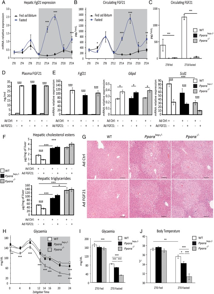 Hepatocyte and extrahepatocyte peroxisome proliferator-activated receptor α (PPARα) regulate fibroblast growth factor 21 <t>(FGF21),</t> glycaemia and body temperature during fasting. (A and B) Eleven-week-old male mice of the C57Bl/6J background were fed ad libitum or fasted for 24 h, and were killed around the clock from ZT0 to ZT24. (A) Fgf21 mRNA was quantified by qRT-PCR. (B) Quantification of circulating FGF21 levels by <t>ELISA.</t> (C) Twelve-week-old wild-type (WT), PPARα-hepatocyte knockout ( Pparα hep−/− ) and PPARα knockout ( Pparα −/− ) male mice were fed ad libitum or fasted for 16 h and blood was collected at ZT8 (ZT8 fed) or at ZT16 (ZT16 fasted). FGF21 plasma level was determined by ELISA. (D–G) Male mice of WT, Pparα hep−/− and Pparα −/− genotypes were infected with an adenoviral construct containing cDNA of Fgf21 or an empty vector. Mice were sacrificed after a 24 h fasting period at ZT14. (D) Quantification of circulating FGF21 levels by ELISA. (E) Fgf21, G6pd and Scd1 mRNAs were quantified by qRT-PCR. (F) Quantification of hepatic cholesterol esters and triglycerides. (G) Representative pictures of H E staining of liver sections. Scale bars, 100 µm. (H) Plasma glucose level was monitored over a 24 h fasting period from ZT0 to ZT24 in WT, Pparα hep−/− and Pparα −/− mice. (I, J) Plasma glucose (I) and body temperature (J) were determined at ZT0 in fed mice or at ZT0 in mice fasted for 24 h. Data are shown as mean±SEM. *p≤0.05, **p≤0.01, ***p≤0.005.